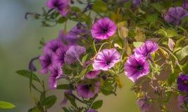 在盛开的春天淡紫色桃红色落后的喇叭花 库存图片
