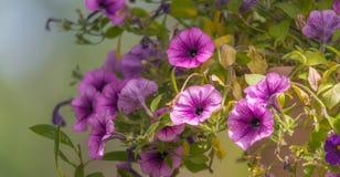 在盛开的春天淡紫色桃红色落后的喇叭花 库存照片