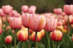 在盛开的春天郁金香 免版税库存图片