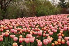 在盛开的春天郁金香 图库摄影