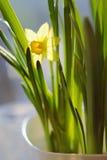 在盛开的春天黄水仙 免版税库存图片