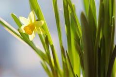 在盛开的春天黄水仙 库存图片