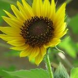 在盛开的最近新兴黄色向日葵 免版税库存照片
