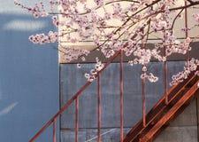 在盛开的杏子开花在台阶附近 库存照片