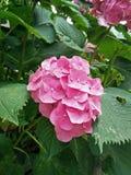 在盛开的桃红色八仙花属花 库存图片