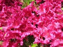 在盛开的桃红色杜娟花 免版税图库摄影