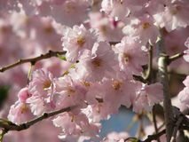在盛开的桃红色花在树 免版税库存照片