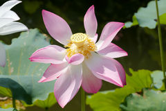 在盛开的桃红色莲花 库存照片