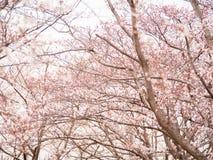 在盛开的樱花树行  库存照片