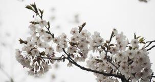 在盛开的樱花 影视素材