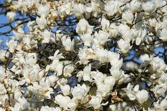 在盛开的白色木兰树 库存图片