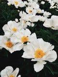 在盛开的白色牡丹在庭院里 库存照片