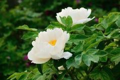 在盛开的白色牡丹 库存图片