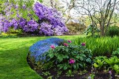 在盛开的美丽的紫堇属Flexuosa,在植物园里在春天 免版税库存照片