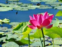 在盛开的莲花在夏天 免版税库存图片