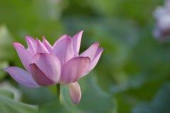 在盛开的莲花 免版税库存图片