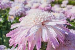 在盛开的菊花 免版税库存照片