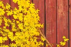 在盛开的连翘属植物 免版税库存照片