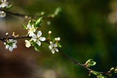 在盛开的野生李树 免版税库存照片