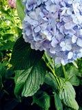 在盛开的青的淡紫色八仙花属花 图库摄影