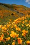 在盛开的鸦片在步行者峡谷加利福尼亚的一个山坡在超级绽放事件期间 免版税图库摄影