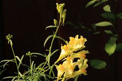 在盛开的黄油和蛋野花群 库存照片