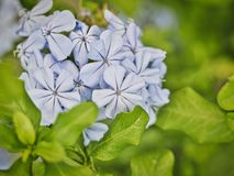 在盛开,夏令时的淡紫色紫色花 免版税库存照片