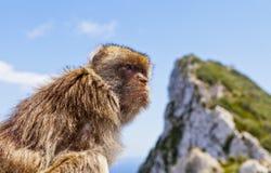 在直布罗陀的岩石上面的巴贝里短尾猿 免版税库存照片