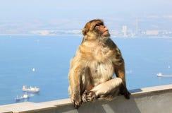 在直布罗陀的岩石的巴贝里短尾猿 库存图片