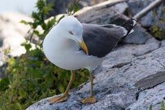 在直布罗陀的黄色有腿的鸥鸥属michahellis 库存照片