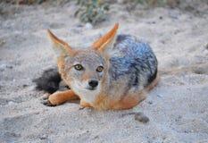 黑色支持的狐狼 免版税库存图片