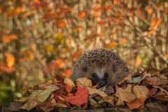 在看在照相机的五颜六色的秋叶的猬 库存图片