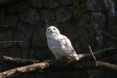 在看太阳光的阴影的白色斯诺伊猫头鹰 库存照片