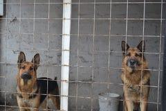 在看对照相机的笼子里面的两只德国牧羊犬 免版税库存照片