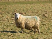 在看对照相机的领域的绵羊 免版税库存照片