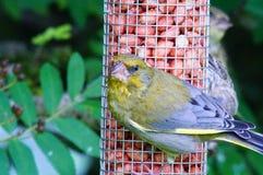 在看往照相机的饲养者的Greenfinch 免版税库存照片