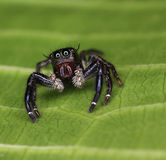 在看摄象机镜头的绿色叶子的跳跃的蜘蛛 库存照片