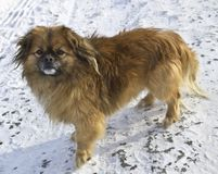 在看框架的雪的Pekingese狗 图库摄影