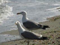 在看海的海滩的两只海鸥 图库摄影