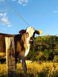 在看照相机的农场的母牛 图库摄影