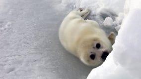 在看照相机的冰的逗人喜爱的新出生的小海豹 股票视频