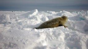 在看照相机的冰的逗人喜爱的新出生的小海豹 股票录像