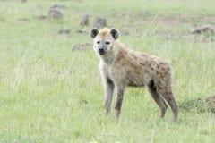 在看照相机的大草原的被察觉的鬣狗斑鬣狗斑鬣狗 免版税图库摄影