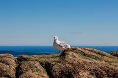 在看照相机的山顶的海鸥 库存图片