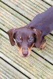 在看照相机的木甲板的黑达克斯猎犬小狗 库存照片