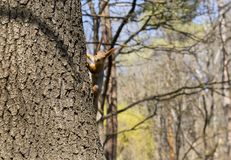 在看照相机的树干的灰鼠 库存图片