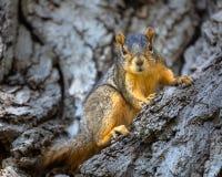 在看照相机的树的灰鼠 免版税库存照片