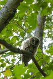 在看照相机的槭树的条纹猫头鹰 免版税库存图片