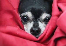 在看照相机的毯子的逗人喜爱的奇瓦瓦狗 图库摄影