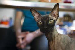 在看照相机的沙发的Sphynx猫赤裸身分 免版税库存照片